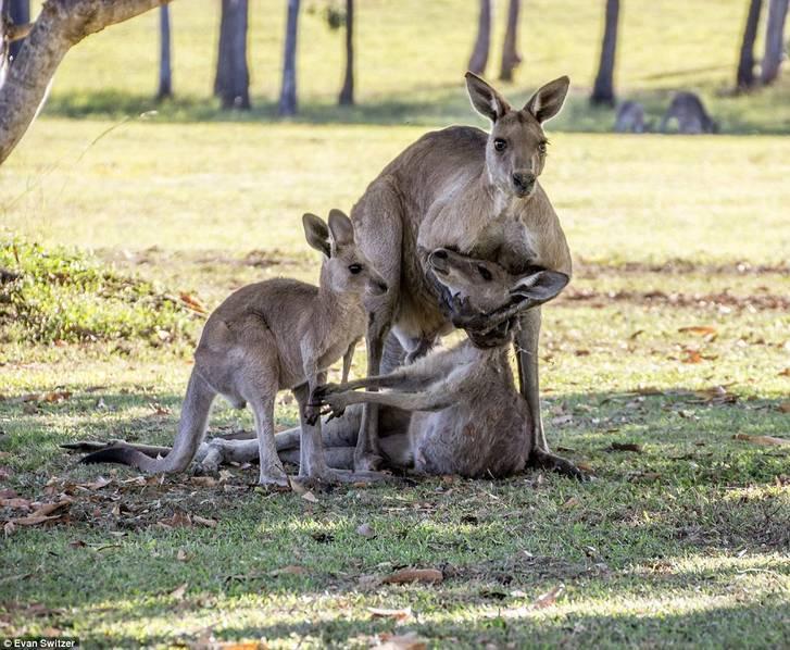 袋鼠妈妈临死前试图握住宝宝的手——动物这么像人